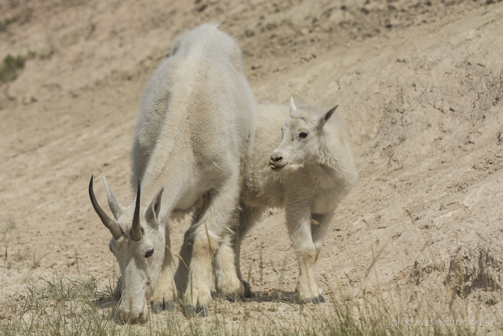 Mountain Goat Nanny and Kid, Jasper National Park