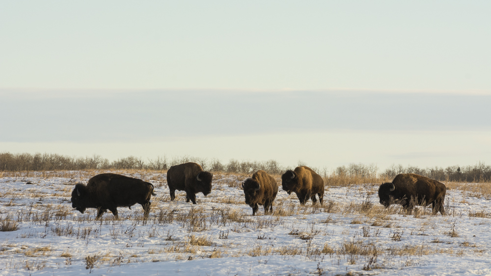 Plains Bison, Elk Island NP