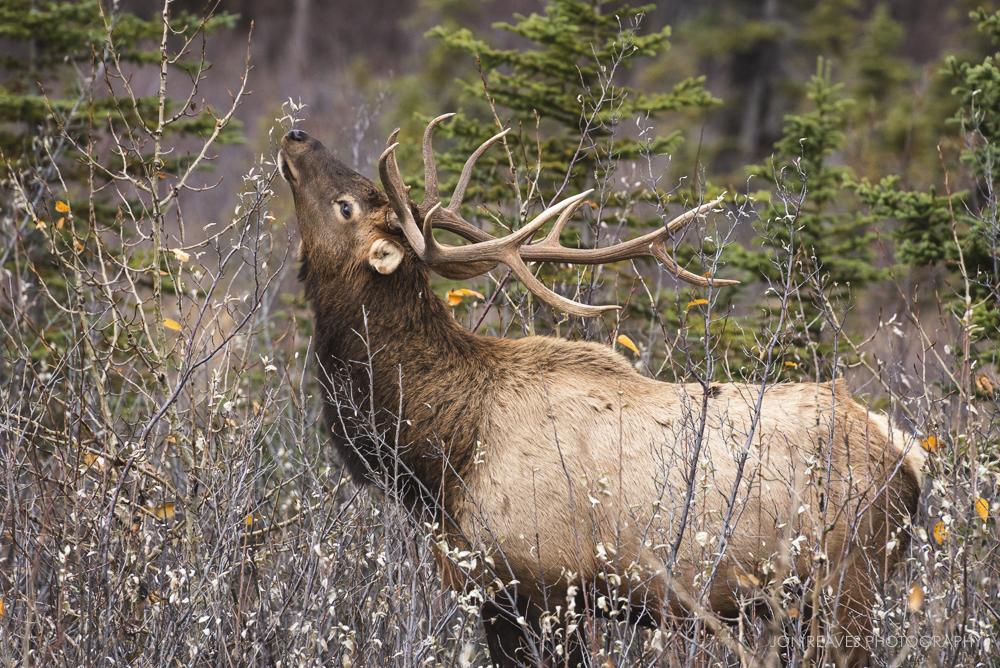 Bull Elk eating willows, Jasper National Park, Canada