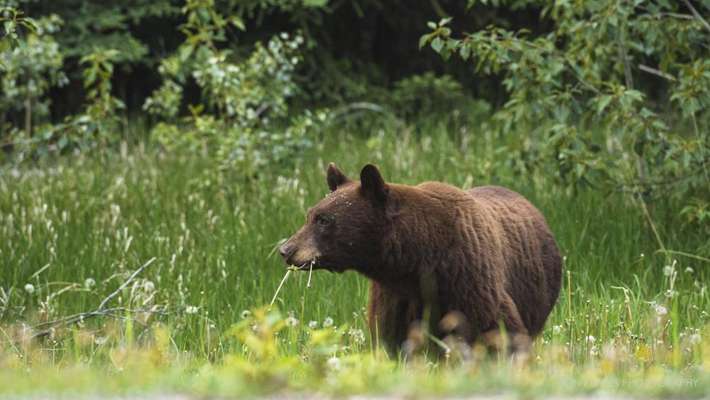 Cinnamon Colored Black Bear Eating Dandelions, Jasper National Park, Alberta, Canada