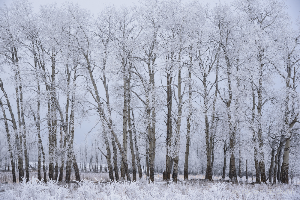 Hoar Frost covers tree branches on the boreal plain (Nikon D750, 24-120mm f4 VR)