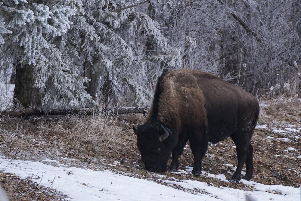 Bison grazing near Astotin Lake, Elk Island National Park (Nikon D750, 200-500mm VR - 310mm, ISO 1400, f7.1, 1/640 sec)