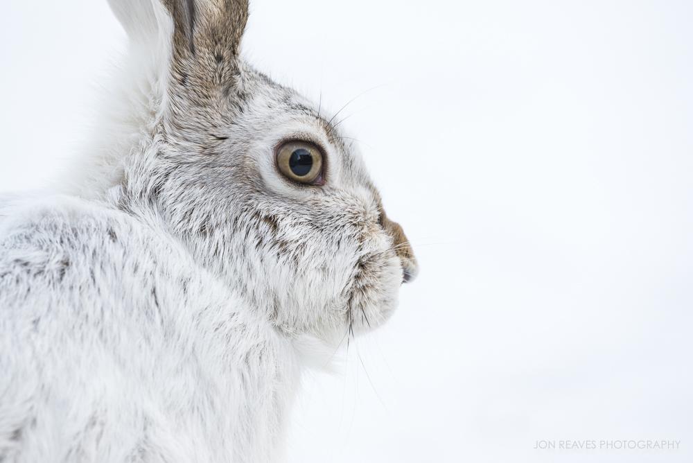 White-tail Jackrabbit in winter, Edmonton, Alberta (Nikon D750, 200-500mm VR - 500mm, ISO 800, f7.1, 1/320 sec)