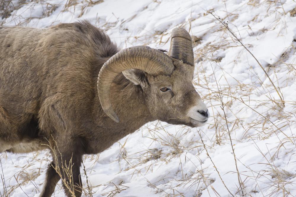 Rocky Mountain Bighorn Ram, Jasper National Park (Nikon D7200, 200-500mm VR - 500mm, ISO 500, f8, 1/1000 sec)