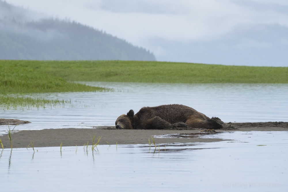 """A particularly animated bear named """"Junior"""" refuses to give up his spot on the beach as the tide closes in,Khutzeymateen Provincial Park, British Columbia"""