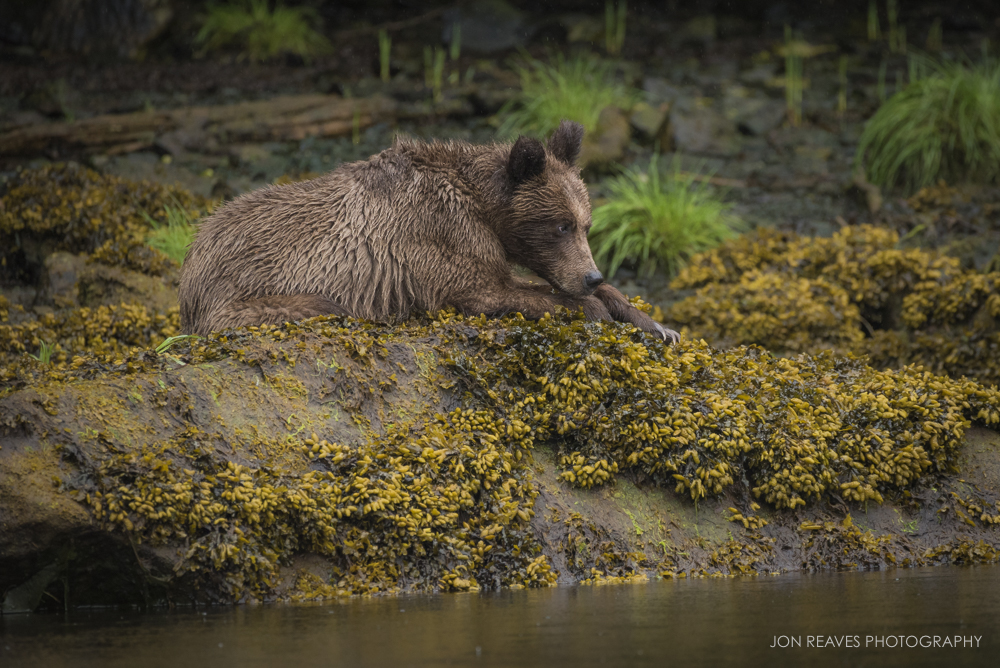 A young grizzly rests on the banks of the Khutzeymateen Inlet at low tide, British Columbia. (Nikon D750, Nikkor 200-500mm f5.6 VR, 500mm, f.6.3, 1/800 sec, ISO 2500)