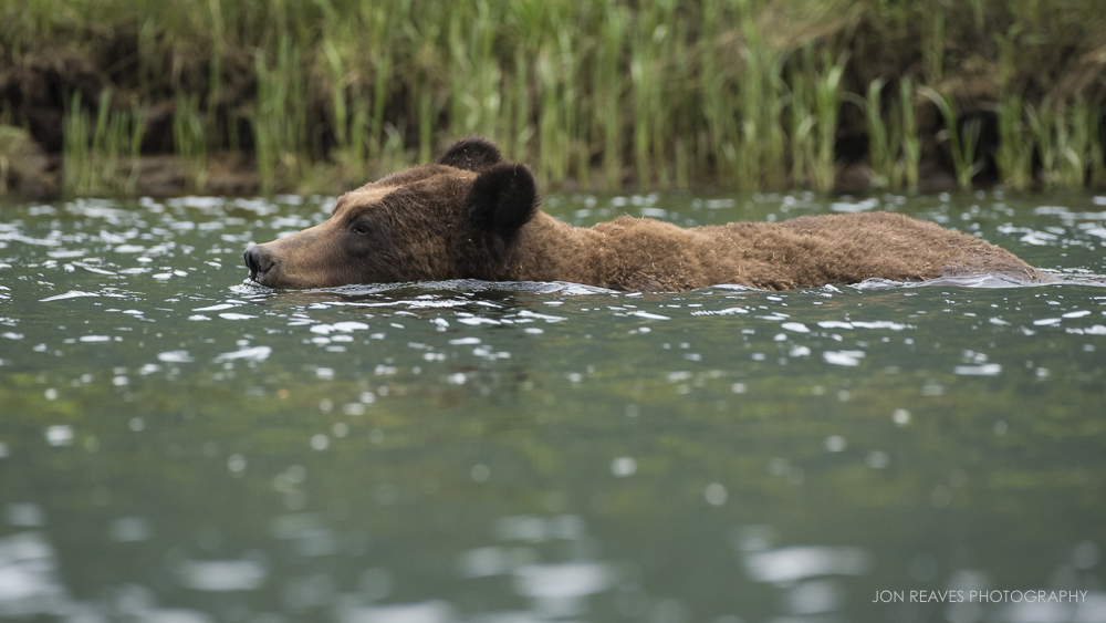 A large male grizzly swims in the estuary, Khutzeymateen Inlet, British Columbia. No matter the weather, the bears are usually active in Spring and Summer. (Nikon D750, Nikkor 200-500mm f5.6 VR, 500mm, f8, 1/1000 sec, ISO 3200)