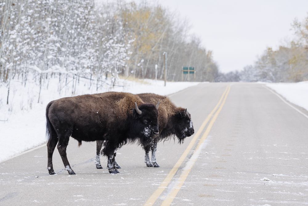 Bison crossing the Elk Island Parkway, Elk Island National Park, Canada