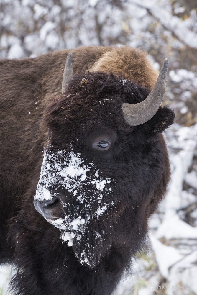 Bison in early October snow, Elk Island National Park, Canada