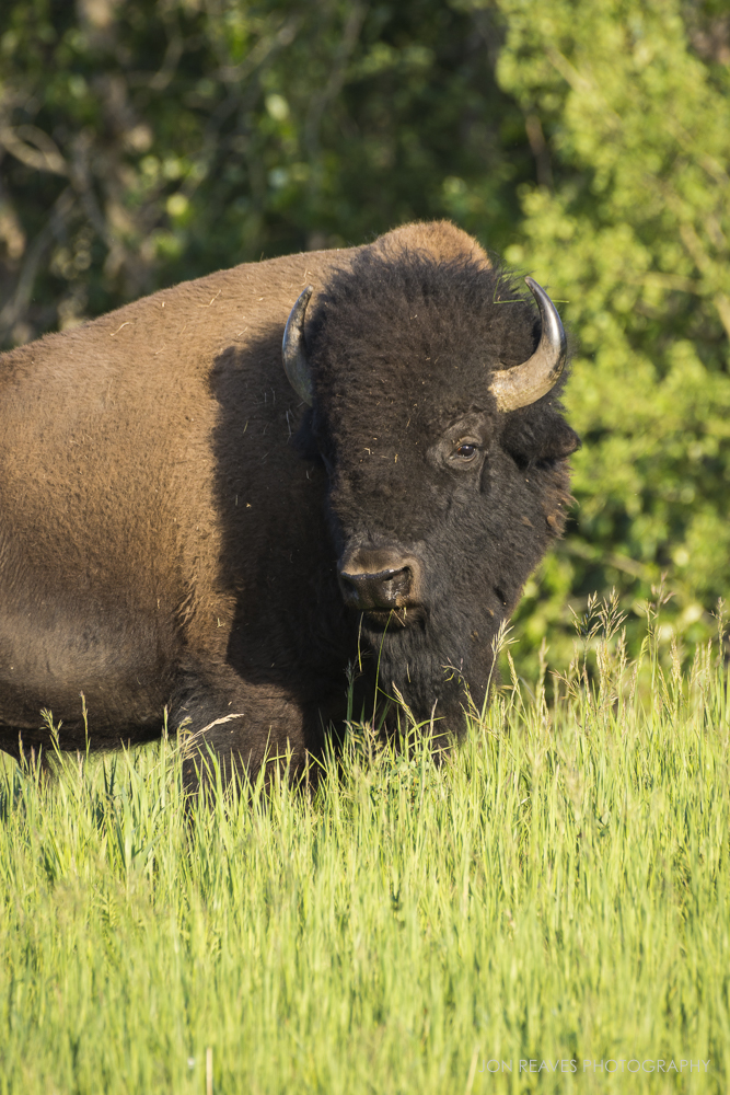 Bison in summer grasses, Elk Island National Park, Canada