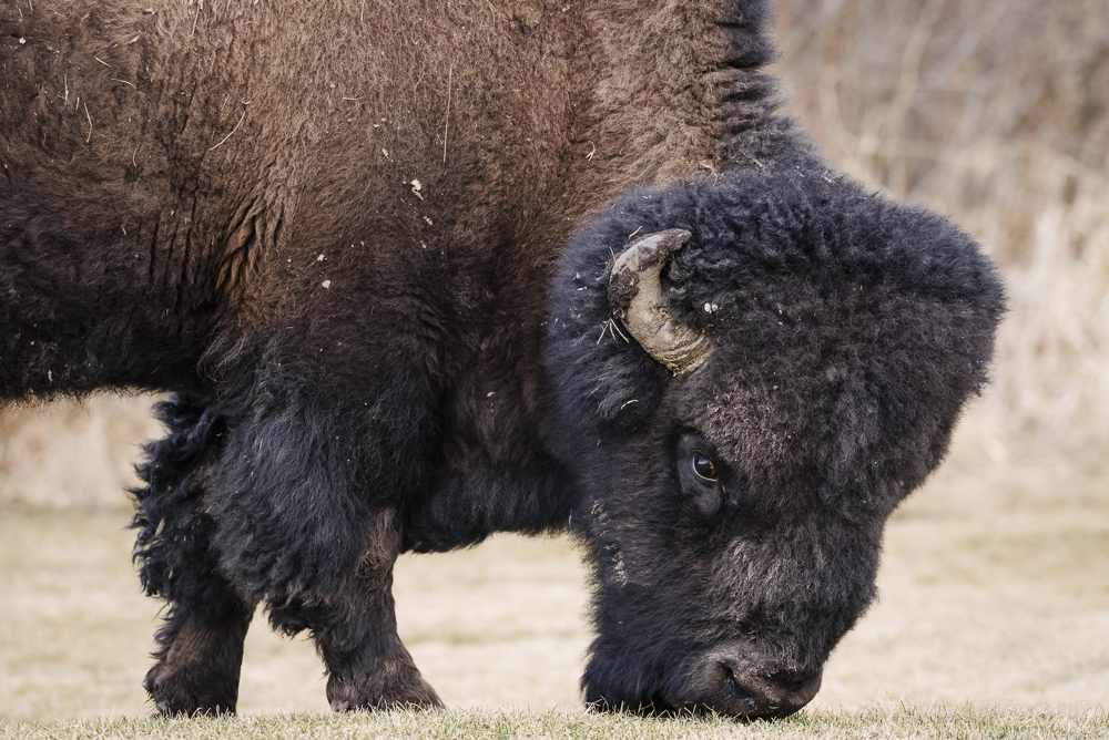 Bison grazing on the first sprigs of spring grass, Elk Island National Park, Canada