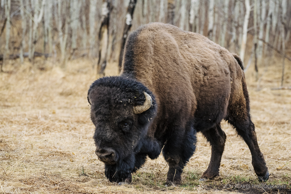 Large bull bison, Elk Island National Park, Canada