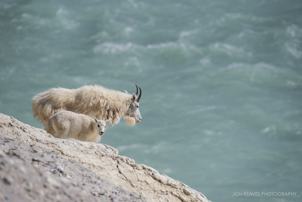 Mountain goat nanny and kid looking over the Athabasca River, Jasper National Park (Nikon D7200, 200-500mm f5.6 VR, 500mm, f.8, 1/2500 sec, ISO 500)