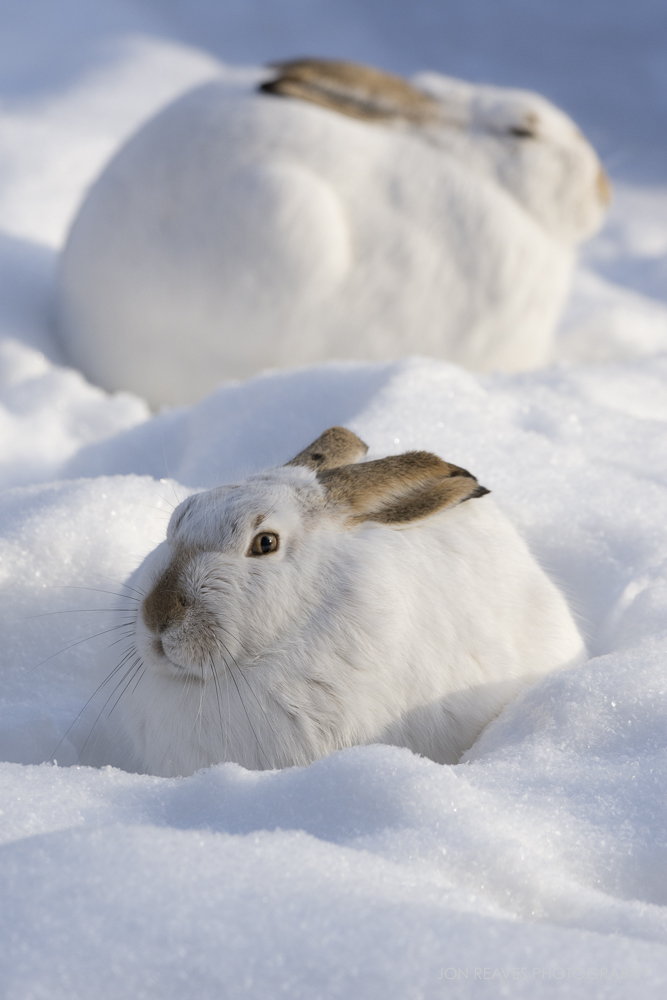 White-tailed Jackrabbits, Alberta, Canada (Nikon D7200, 200-500mm f5.6 VR, 290mm, f7.1, 1/1600 sec, ISO 400)