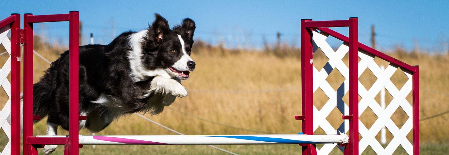 Fun Agility The Surrey Dog Training Company