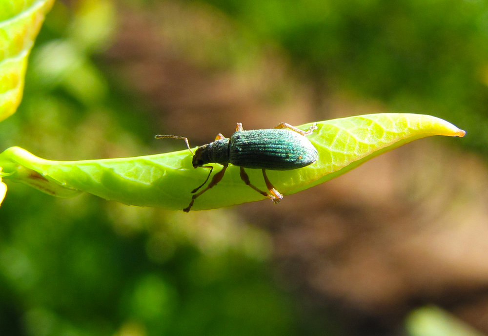 ImmigrantWeevil2_05-17-13.JPG