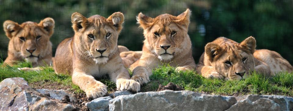 The lions at Folly Farm