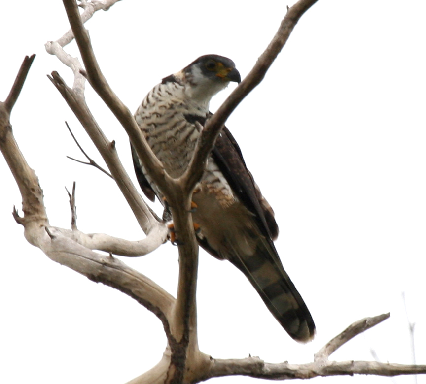 juvenile Hook-billed Kite perched.jpg