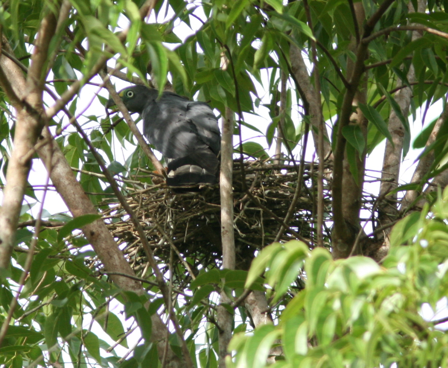 Male HBKI on nest R. Phillips 14 Aug.JPG
