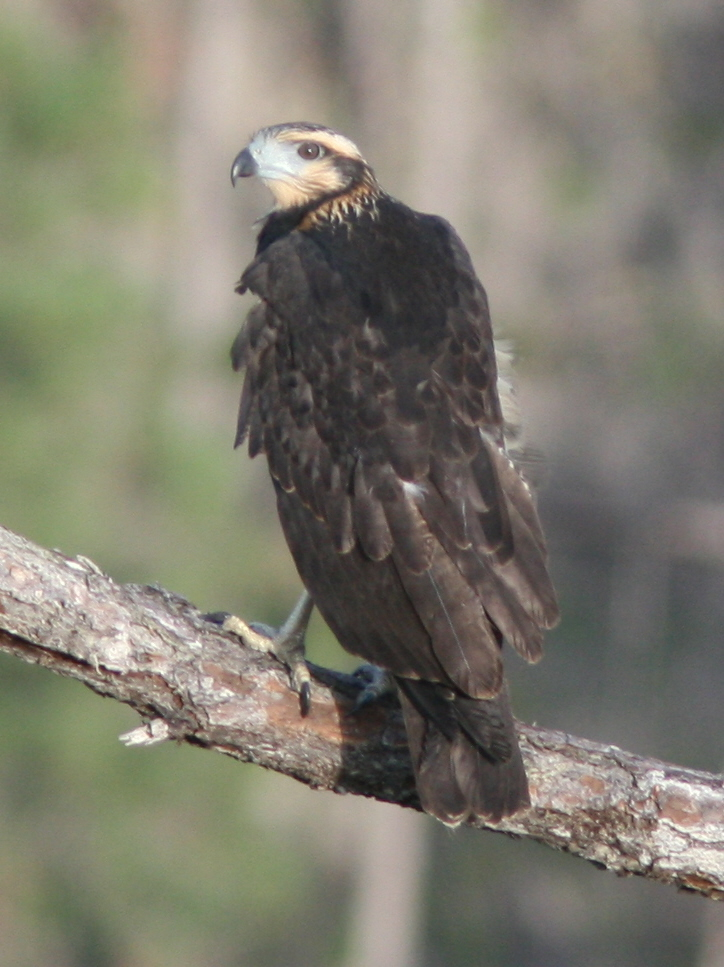 juvenile Solitary Eagle fledged.jpg