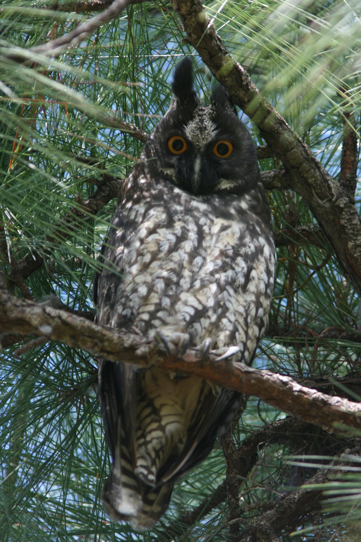 Stygian Owl (2).JPG
