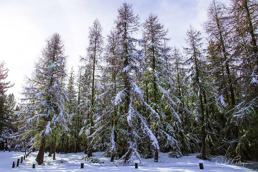 Snowy Southern Trees - Lake Tekapo HR wtag 1020.jpg