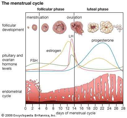 - This chart follows the development of a egg leading to ovulation (seen on chart as follicular development), hormonal fluctuations and uterine lining development.Note: This is based on a 28 day cycle. Your cycle may not be 28 days, but will follow a similar pattern if you are ovulating