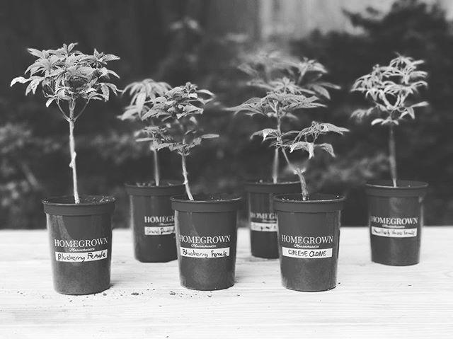 Seedling city! #grassachusetts #HomeGrownMA . . . . . #cannabisculture #cannabis #growyourown #cannabiscommunity #maryjane #classycannabis #ClassingUpTheJoint