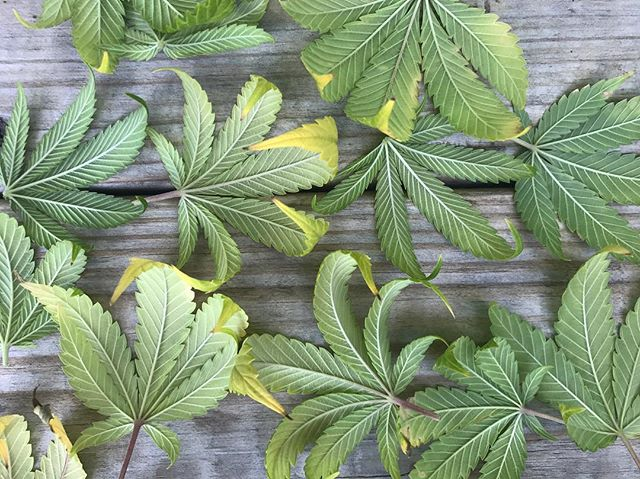 Sundays are for pruning. #grassachusetts #HomeGrownMA . . . . . #classycannabis #cannabiscommunity #CannaBiz #growkit #growers #growyourown #marijuana