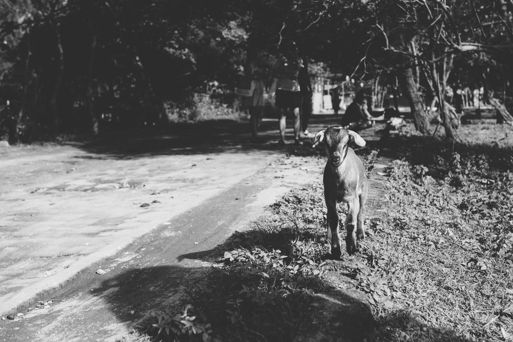 goat kid at Gili T island
