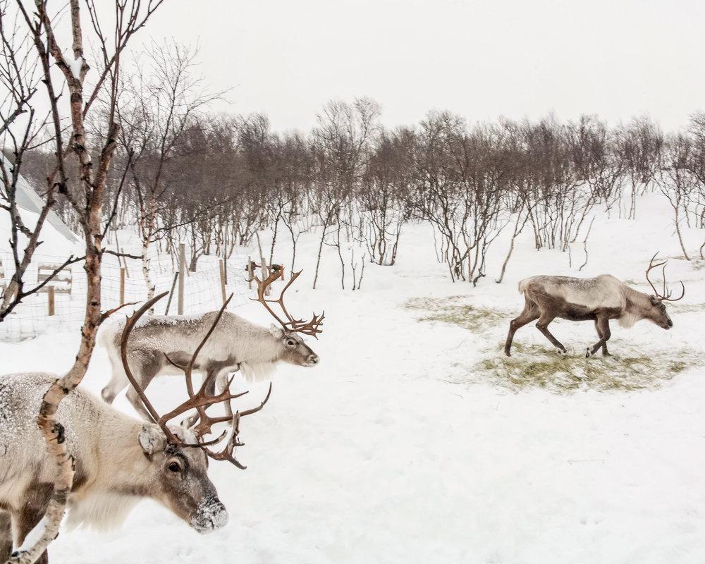 Reindeer Walk-1.jpg