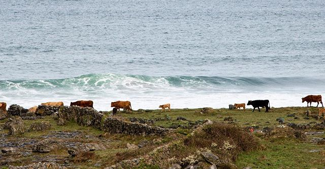 Cows in their natural habitat. Fanore Beach. County Clare, Ireland #cowabunga 🐄 . . . . . #fanorebeach #fanore #ireland #therealireland #peopleactuallysurfhere #countryside #northatlantic #ocean #travel #travelphotography #backpackingeurope #europe #eurotrippin #cows #beach