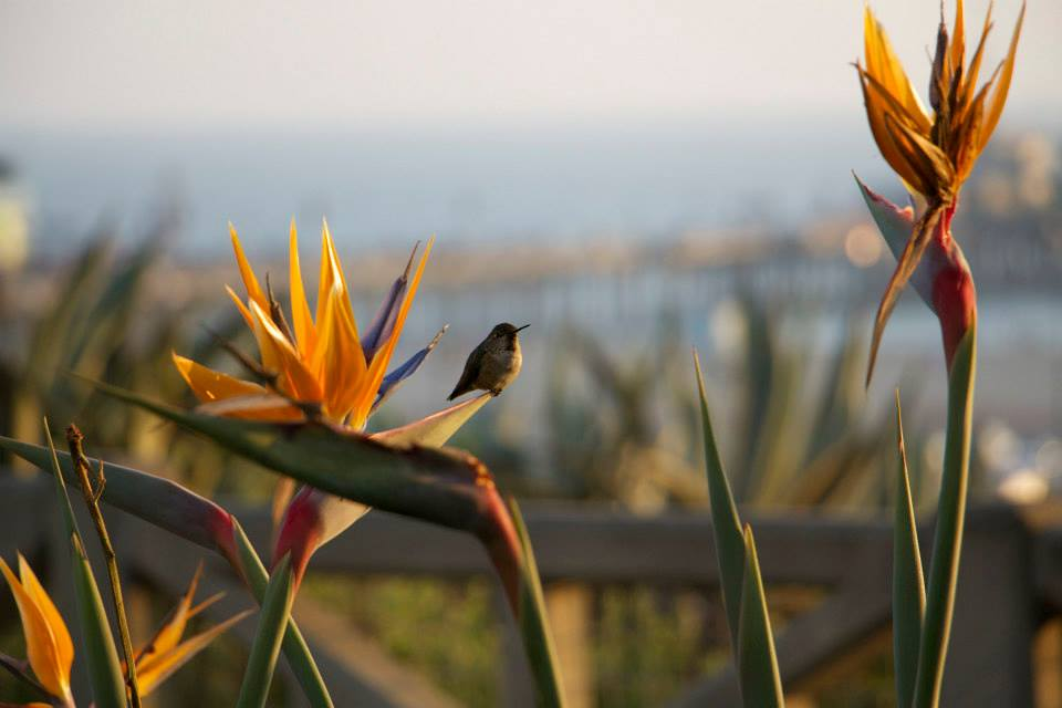 Hummingbird and birds of paradise in Santa Monica (photo by  Steven Seighman )