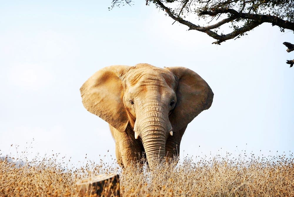 All elephant images from An Apology to Elephants documentary