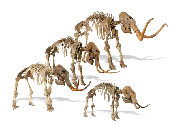 This family of ice age mammoths will be offered for sale at Summers Place Evolution Sale on 21st November. They are expected to sell in the region of £250,000-400,000!