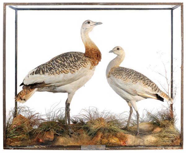 A pristine pair of great bustards by Roland Ward are also entered in the Evolution sale
