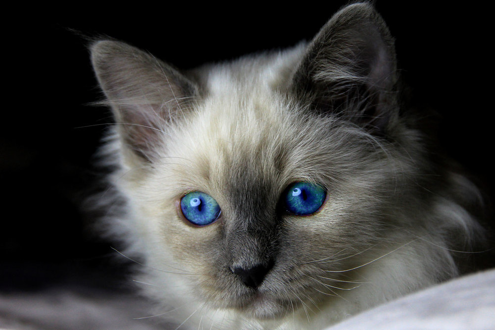 Blue_eye_kitten_2500.jpg