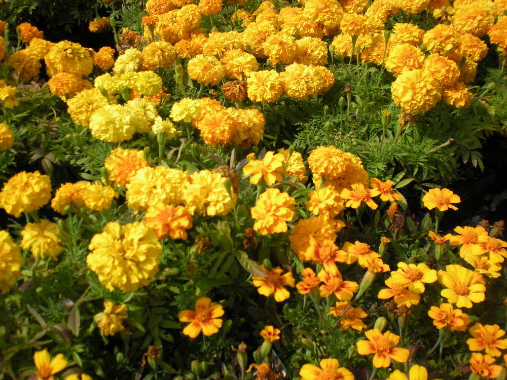 Top 5 yellow flowers vern goers greenhouse marigolds have made many of our lists including being some of the easiest flowers to grow from seed marigolds make the list for top yellow flowers for the mightylinksfo