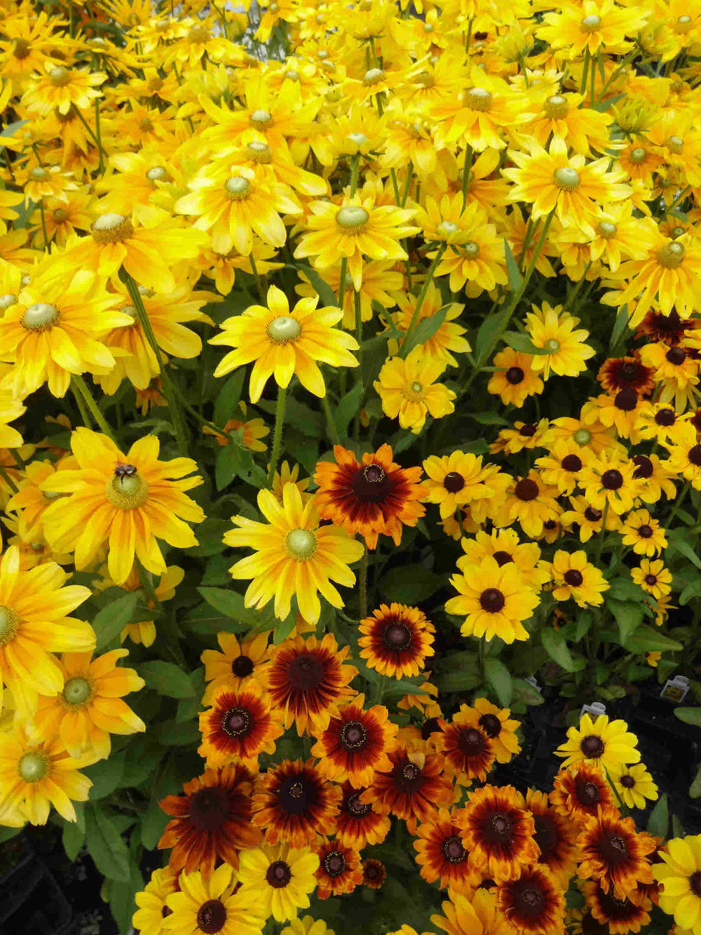 Top 5 yellow flowers vern goers greenhouse rudbeckia is another popular flower for our lists this perennial is a native to illinois and blooms later in the summer through the fall giving you bright mightylinksfo
