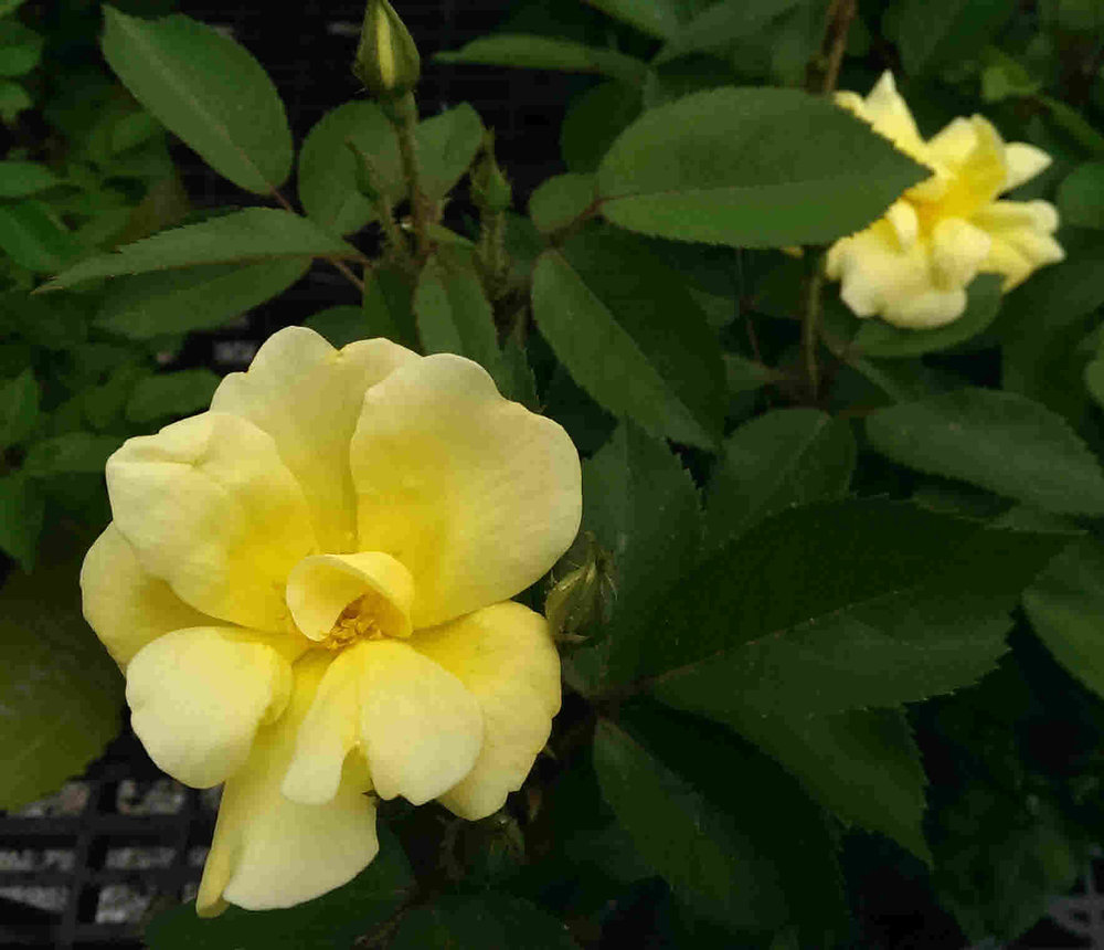 Roses getting to the root of the problem vern goers greenhouse national rose month and with everyones roses in full bloom its hard to imagine why they would not be enjoyed this month roses are beautiful flowers izmirmasajfo