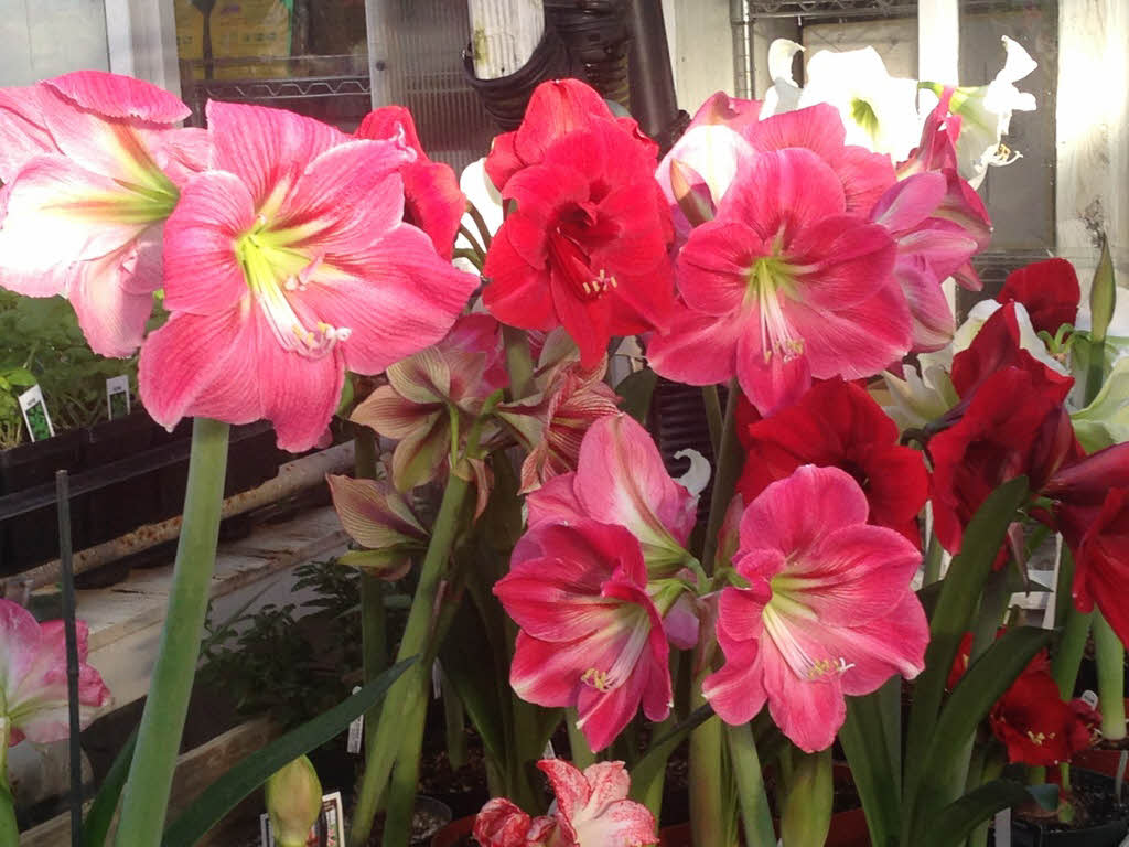 amaryllis+in+bloom.jpg