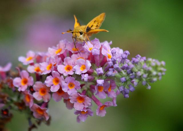 butterfly+bush.jpg