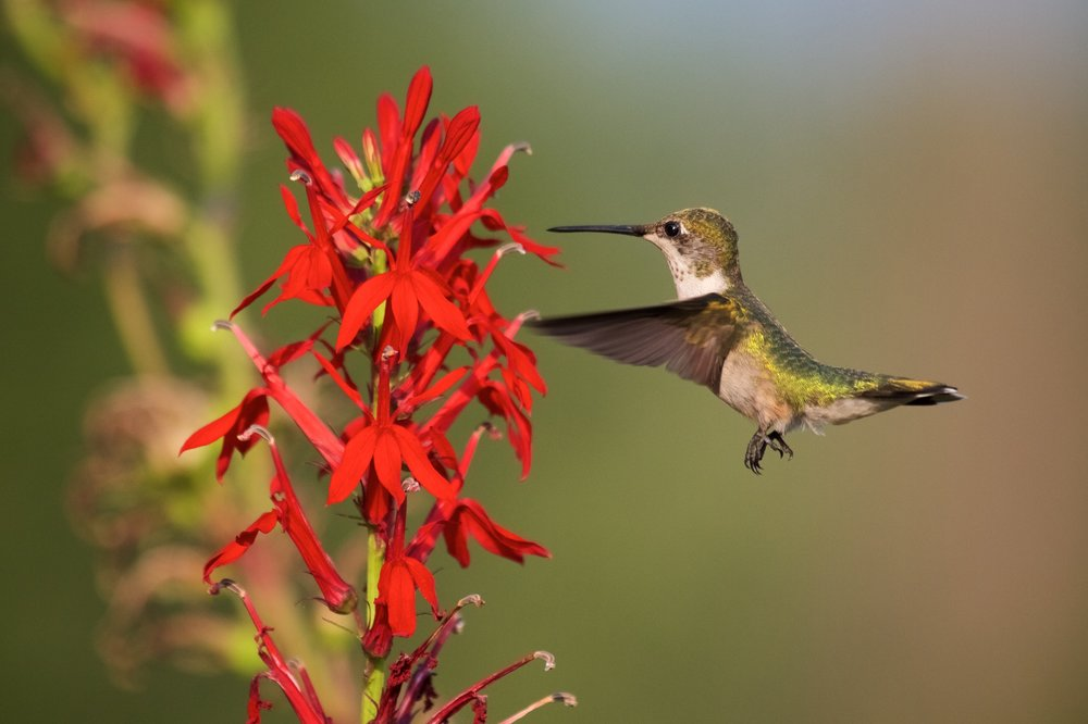 Make your garden a hummingbird haven vern goers greenhouse cardinal flower lobelia cardinalis this perennial has scarlet red blooms that the hummingbirds like and that really pop in your garden mightylinksfo Choice Image