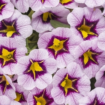 Calibrachoa Superbells Morning Star