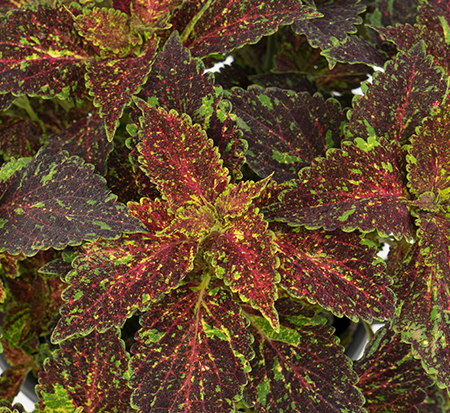 Coleus Michigan Ave.