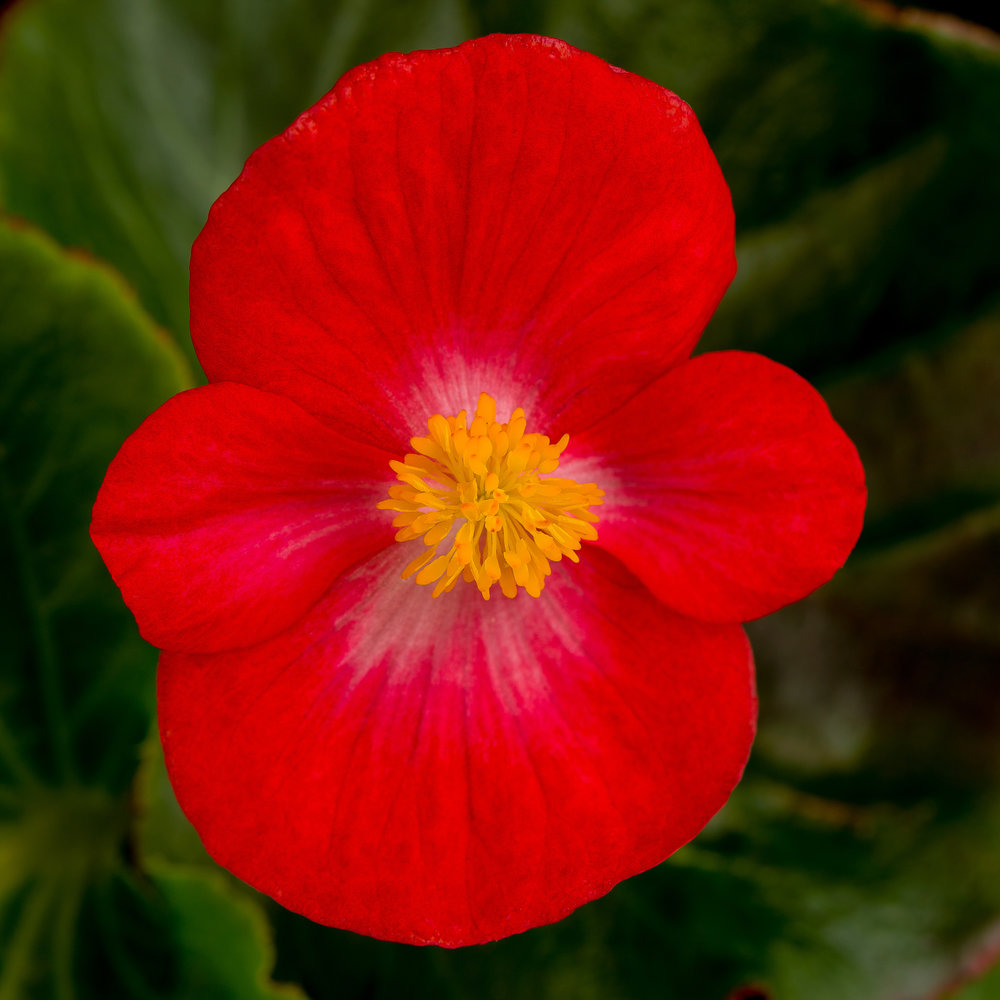 Top Hat Red Begonia