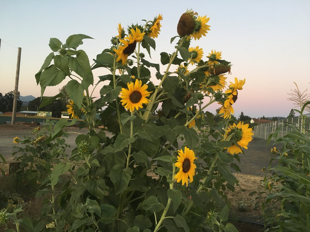Sunflowers in the middle school garden (just around the corner).