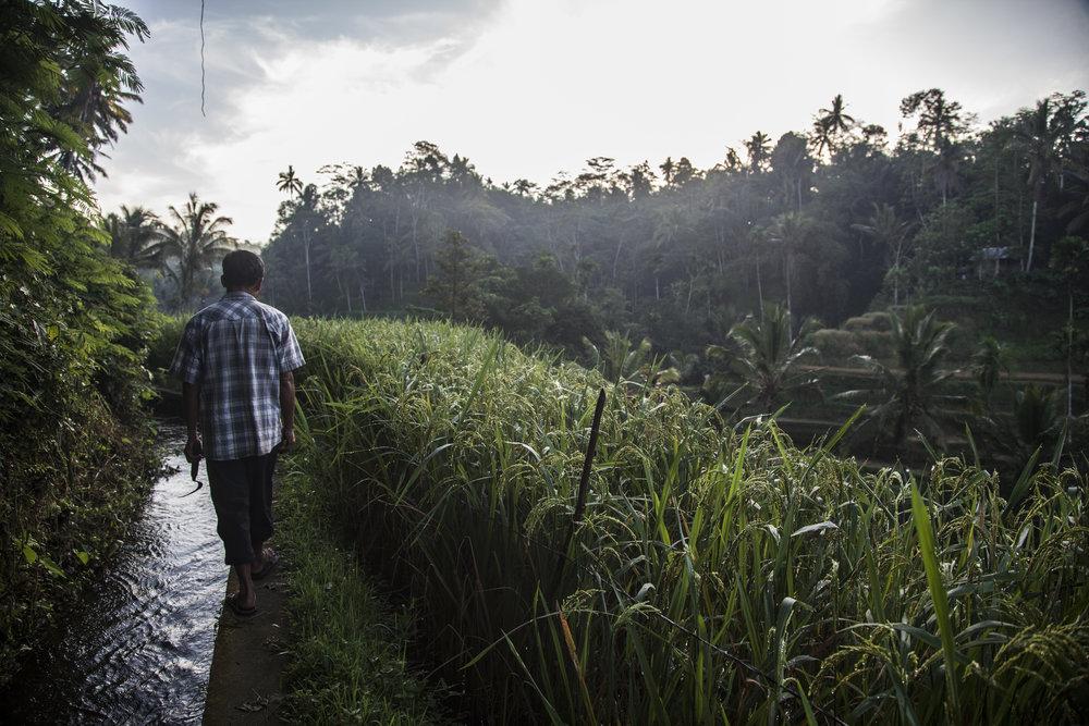 Indonésie rizière ubud tegalalang