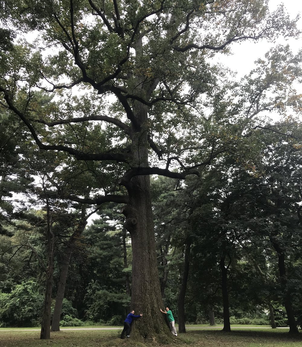 The tulip tree  named Colossus in Clove Lakes Park is the largest living organism in NYC and thought to be over 300 years old.