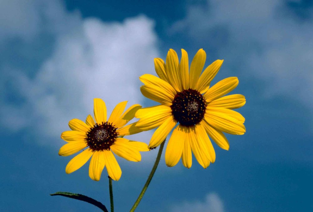 Sunflower_flower_against_blue_sky_background.jpg